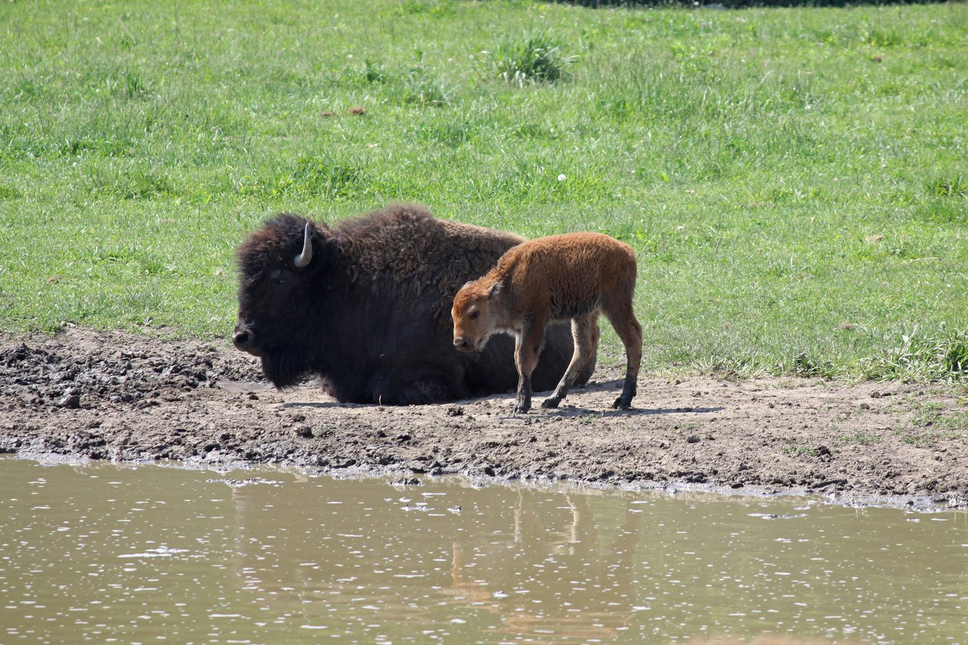 Bison and Calf #15