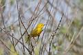 Yellow Warbler #16