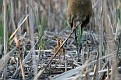 Sandhill Crane Chicks - Knee High?