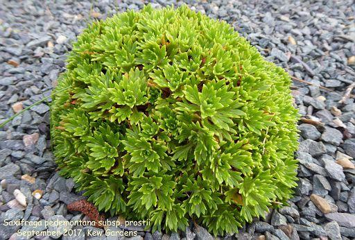 Saxifraga pedemontana subsp. prostii