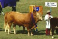 Blonde d Aq Uitaine Cattle 001