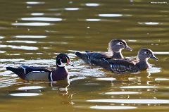 Wood Duck Triad