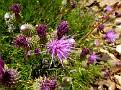 Ptilostemon chamaepeuce subsp  cyprius endemic (3)