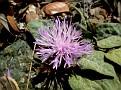 Centaurea aegialophila troodos (2)