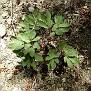 Paeonia mascula (3)