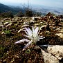 Colchicum atticum Merendera attica (10)