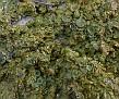 Lichen  (5)