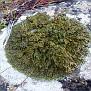 Lichen  (6)