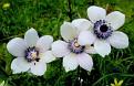 Anemone (4)
