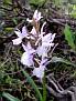 Dactylorhiza romana (16)