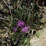 Centaurea raphanina subsp  mixta (1)