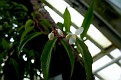 Begonia polygonoides (1)