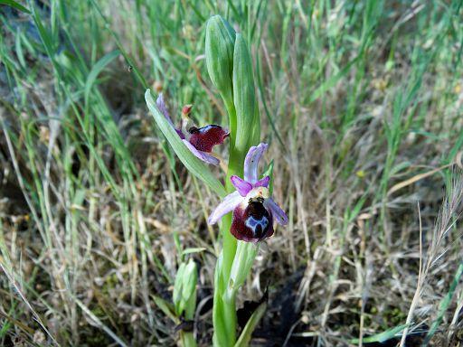 Ophrys argolica