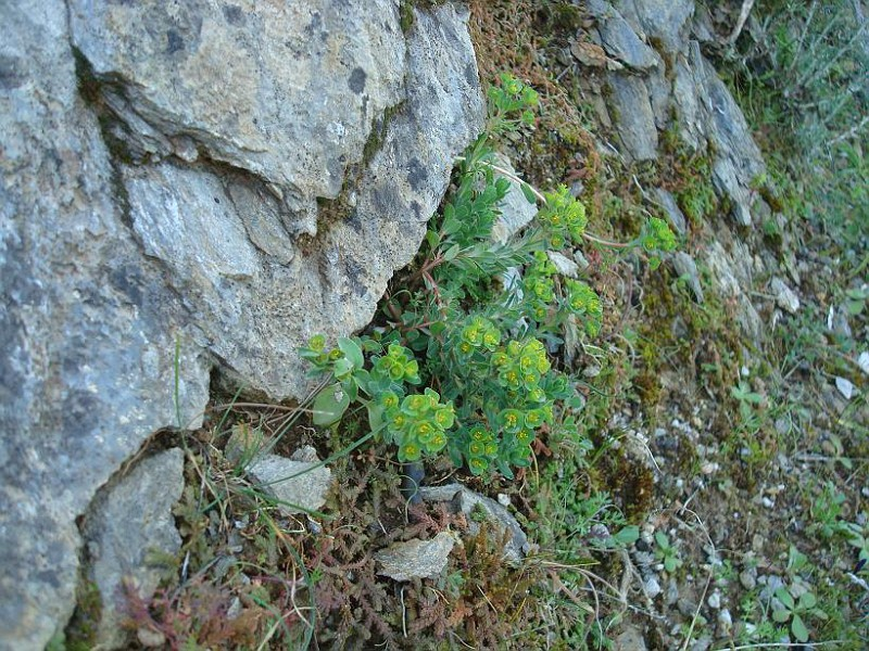 Euphorbia apios (3)