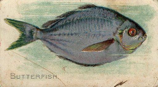 1910 ATC Fish Series Piedmont Back Butterfish (1)