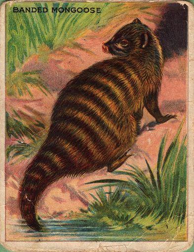 1909-11 Hassan Animal Series Banded Mongoose (1)