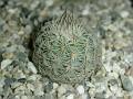 Mammillaria huitzilopochtii