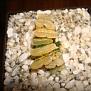 Haworthia truncata variegata