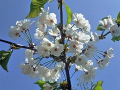 Sakura im Weserbergland