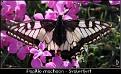 Papilio machaon - Svalestjert