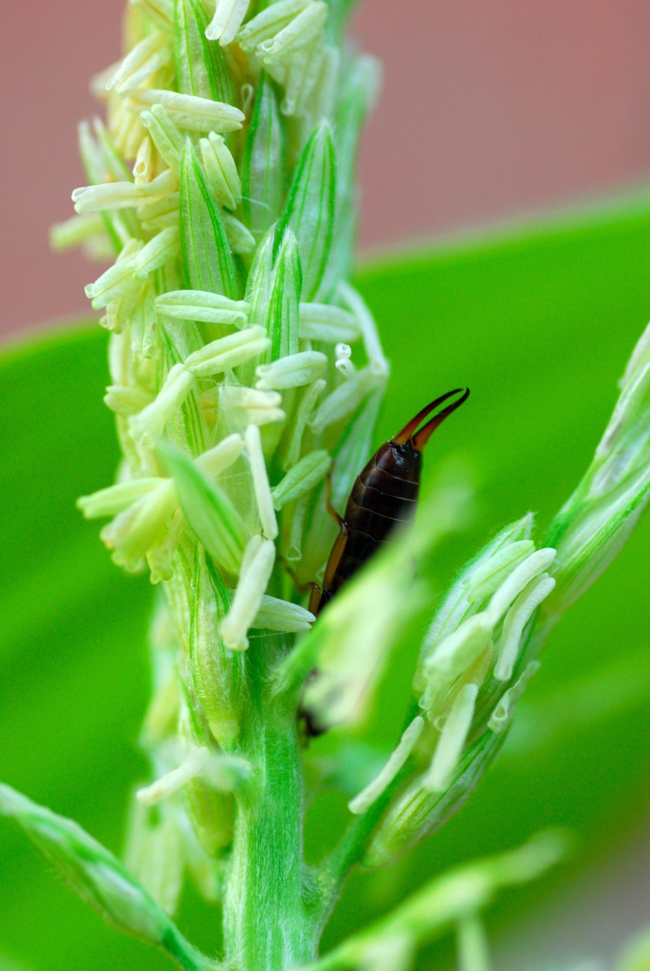 EarWig In the Crops :O