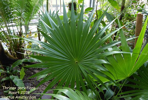 Thrinax parviflora