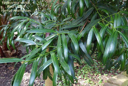 Podocarpus elatus
