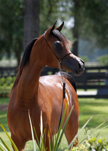 G ALETA G (SF Veraz x Adavia CE) 2012 bay mare exported to Israel