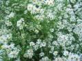 Asters, my birth flower